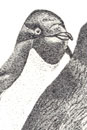 Pen and Ink Drawing of Birds - Adelie Penguins