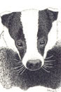 Pen and Ink Drawing of Animals - Badger