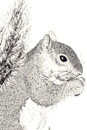 Pen and Ink Drawing of Animals - Squirrel