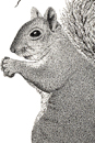 Pen and Ink Drawing of Animals - Grey Squirrel on branch