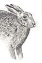 Pen and Ink Drawing of Animals - Hare