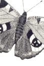 Pen and Ink Drawing of Insect - Peacock Butterfly