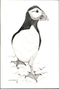 Pen and Ink Drawing of Birds - Puffin