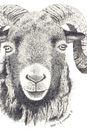 Pen and Ink Drawing of Animals - Ram