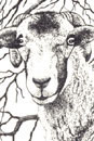Pen and Ink Drawing of Animals - Sheep in Swaledale