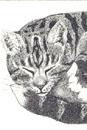 Pen and Ink Drawing of Animals - Tabby and White Cat
