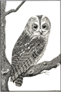 Pen and Ink Drawing of Birds - Tawny Owl