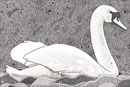 Pen and Ink Drawing of Birds - Peaceful Swan