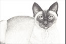 Pen and Ink Drawing of Animals - Siamese Cat on Rug