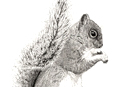 Pen and Ink Drawing of animals - grey squirrel