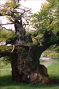 Photograph of 400 year old oak tree in Hatfield Forest