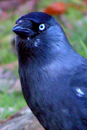 Photograph of Jackdaw