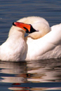 Photograph of Mute Swan