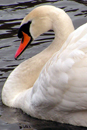 Photograph of Mute Swan on lake